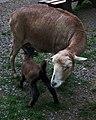 Lamm Kamerunschaf Tierpark Bretten 2011.JPG