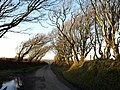 Laneside trees at Trenannick - geograph.org.uk - 715476.jpg