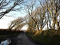 Laneside trees at Trenannick - geograph.org.uk - 715476.jpg