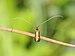 Langhornmotten Adelidae, Nemophora metallica .JPG