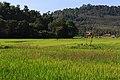 Langkawi Malaysia Rice-Paddy-01.jpg