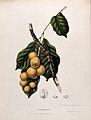 Langsat (Lansium domesticum Corr. Serr.); fruiting branch an Wellcome V0042695.jpg