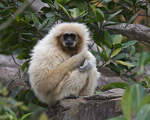 English: Lar Gibbon