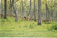 Large Chital herd at Bandipur National Park.jpg