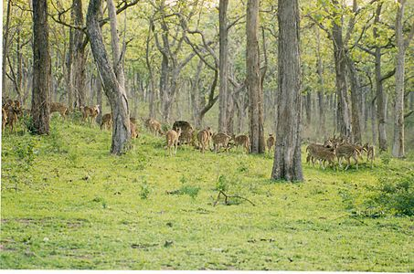 Large Chital herd at Bandipur National Park.jpg