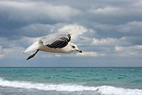 Larus delawarensis flight 2.jpg