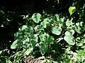Laserpitium latifolium subsp. asperum sl20.jpg