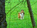 Lassie - panoramio.jpg