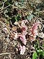 Lathraea squamaria subsp. squamaria sl8.jpg