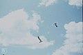 Laughing gulls.Nassau (24005180027).jpg