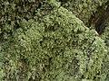 Lecanora anakeestiicola 453818.jpg