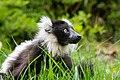 Lemur (27618465988).jpg
