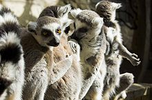 Close-up of five ring-tailed lemurs, four shown clearly; 2 grooming, 1 sunning, and 1 looking at the camera