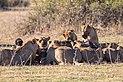 Leones (Panthera leo) deborando un búfalo africano negro (Syncerus caffer caffer), parque nacional de Chobe, Botsuana, 2018-07-28, DD 97.jpg