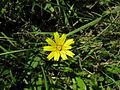 Leontodon saxatilis flowerhead9 NT (16497459196).jpg
