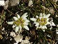 Leontopodium alpinum r1.JPG