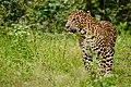 Leopard Male Nagarhole.jpg