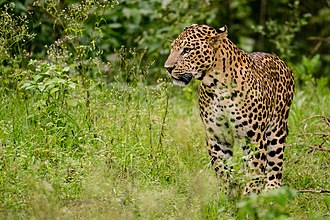 Indian leopard - A male Indian leopard