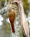 Lepidocolaptes souleyetii (Trepador campestre) (15908510194).jpg