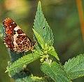 Lepidoptera (28380362602).jpg