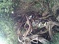 Leptospermum laevigatum (6734102123).jpg