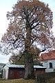 Lesná (okres Tachov) - památný strom lípa velkolistá.jpg