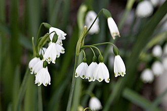 County flowers of the United Kingdom - Summer snowflake