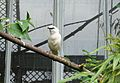 Leucopsar rothschildi in the Aviary - Waddesdon Manor - Buckinghamshire, England - DSC07521.jpg