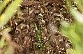 Libélula - Libèl·lula - Dragonfly - Aeshna mixta (4991922533).jpg