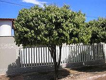 Oiti em Buritis, em Minas Gerais, no Brasil