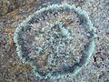 Lichen on granite.jpg