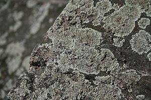 Lecanora - Image: Lichen on the riverside