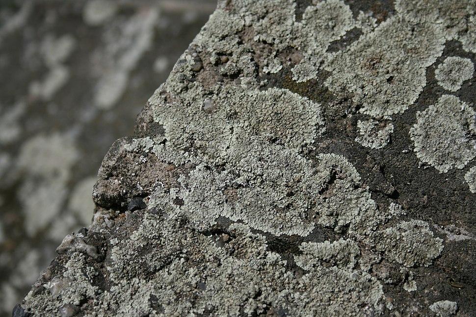 Lichen on the riverside
