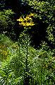 Lil rhodopeum 01Hab Griechenland Rhodopen Livaditis 12 06 00.jpg
