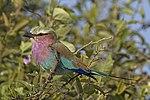 Lilac-breasted roller (Coracias caudatus caudatus) Botswana.jpg
