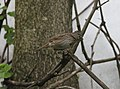 Lincoln's Sparrow, Sand Lake, MI, May 4, 2012 (7142164271).jpg