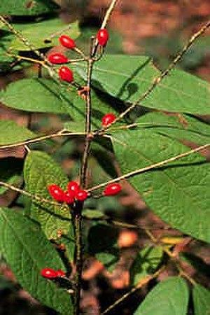 Lindera - Lindera melissifolia
