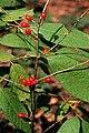 Lindera melissifolia.jpg