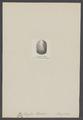Lingula lowisii - - Print - Iconographia Zoologica - Special Collections University of Amsterdam - UBAINV0274 005 13 0027.tif