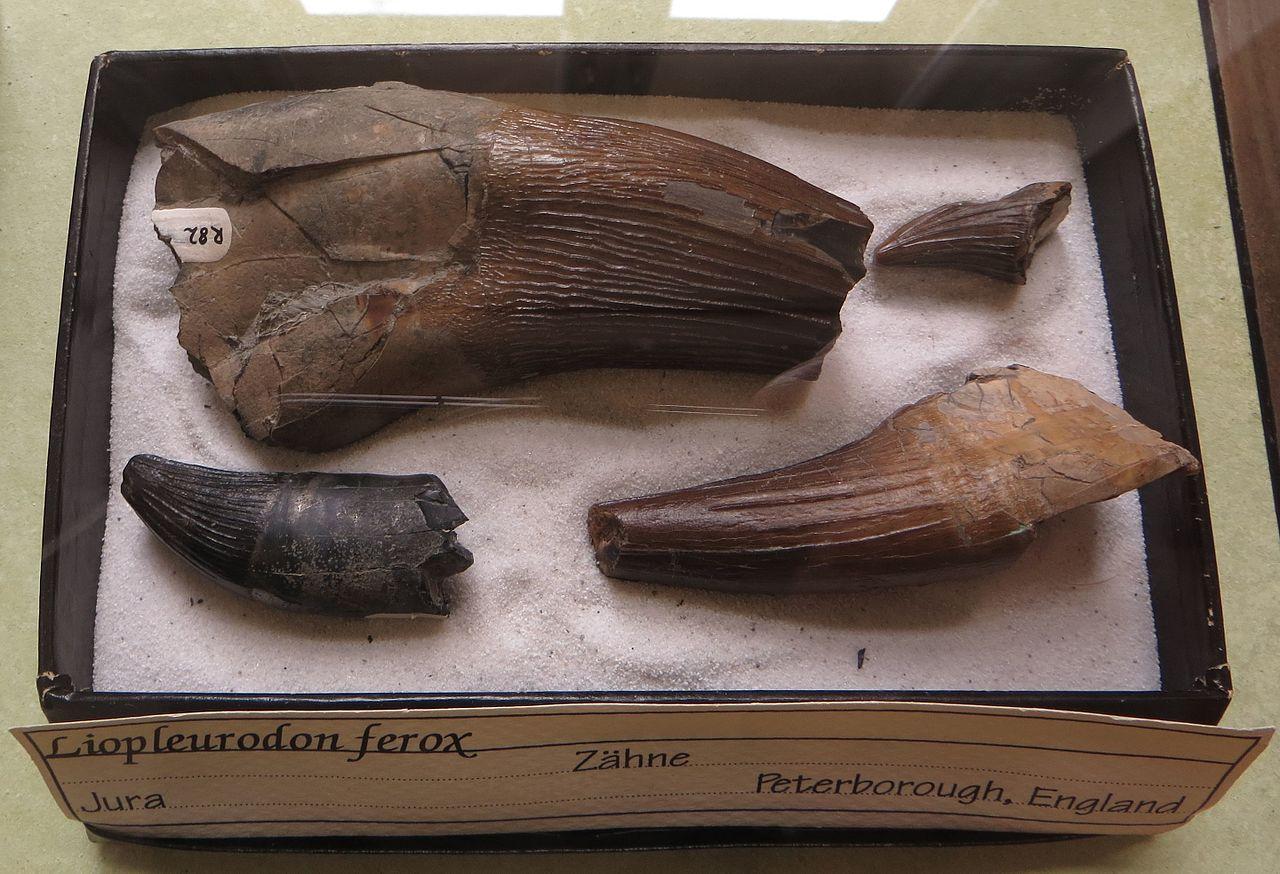 Denti di Liopleurodon ferox