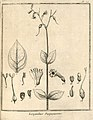 Lisyanthus purpurascens Aublet 1775 pl 79.jpg