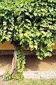 Litschau - mehr als 100 Jahre alte Weinrebe am Bahnhof (1900 gepflanzt).jpg