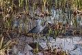 Little Blue Heron ABDS-HR-LB-1.jpg