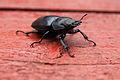 Little stag-beetle.JPG