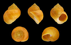 Littorina saxatilis - A shell of Littorina saxatilis