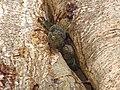 Lizard Tokay Gekko gecko IMG 0881 11.jpg