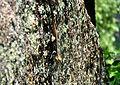 Lizard in GHNP1.jpg