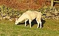 Llamas (33737532446).jpg