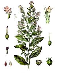 Lobelia inflata - Köhler–s Medizinal-Pflanzen-218