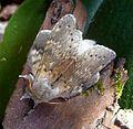 Lobster Moth. Stauropus fagi - Flickr - gailhampshire.jpg